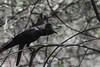 Crow (Gokul [amvj]) Tags: life park wild india animals rat snake indian tiger gandhi maharashtra crow pune rajiv zoological gaur nikon70300mmvr nikond7000