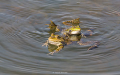 2016-05-06 - 15.27.29 - _L5B2060 - 1 (Rossell' Art) Tags: pad frog toad sapo rana frosch grenouille kikker rano bufo rã kröte crapaud лягушка rospo doodebemde batracien ضفدع ضفدعة شخصتافه
