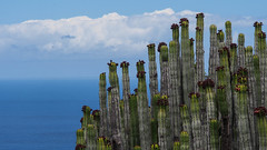 Skyline - grown by nature (kgwinzi) Tags: cactus tenerife