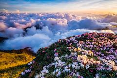 Taiwan Alpine Rhododendron (JFLI0325) Tags: leica sunset taiwan m  asph  seaofclouds 21mm       superelmar lee9soft