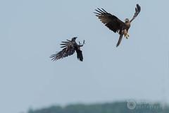 Black kite vs Raven (raphael.labourel) Tags: pets milan bird animaux raven oiseau corbeau rapace milvusmilvus corvus