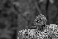 Chipmunk . . . (just another bozo on the bus) Tags: bird squirrel feeder chipmunk raider