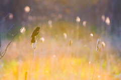 Back-lit Red-wing (Bryan O'Toole) Tags: ontario bird nikon warm wildlife scenic cattails boardwalk backlit soo saultstemarie northernontario algoma redwingedblackbird stmarysriver saultlocks nikcolorefexpro saultcanal nikond810 whitefishisland nikkorafs200400mmf4vr