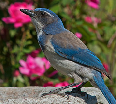 Thirsty Blue Jay (autumnhillswoollens685) Tags: jay bluejay scrubjay 600mmf56ais d800fx avianspecies