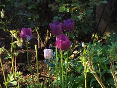 im Morgenlicht (bratispixl) Tags: nature germany jahreszeit oberbayern mai frhling tulpen baumblte chiemgau traunreut blattfarben stadtrundweg bratispixl