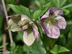 Hellebore seeds (Katy Wrathall) Tags: england garden spring may eastyorkshire 2016 eastriding