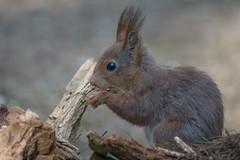 DSC08474rawcon_c (ger hadem) Tags: veluwe zwijn eekhoorn gerhadem
