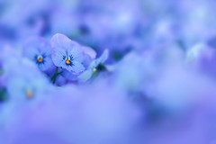 In focus (simonpe86) Tags: blue flower focus soft blurred blau blume unscharf fokus weich