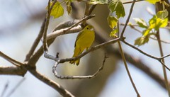 7K8A8788 (rpealit) Tags: bird nature yellow scenery wildlife area warbler hatchery pequest