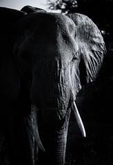 African Elephant (Sutha_Siva) Tags: elephants tanzania safari blackandwhite wildlife tarangire