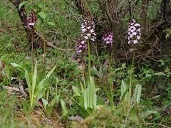 20160516-053F (m-klueber.de) Tags: flora orchidaceae orchidee rhn orchis 2016 purpur purpurea knabenkraut europische purpurknabenkraut rhnflora orcpurp mitteleuropische mkbildkatalog 20160516 20160516053f