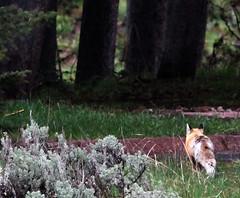 ttn-01 (srosscoe) Tags: wildlife fox tetons grandtetonnationalpark jacksonlakelodge keepwildlifewild