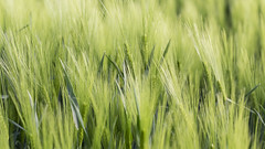 Blond Land (Ben Colorblind) Tags: food sun plant field canon outdoor wheat pasta blond campo spike agriculture cultivation wealth grano agricoltura biondo spiga spighe atsunset coltivazione piantagione canoneos5dmarkiii ef100mmf28lmacroisusm