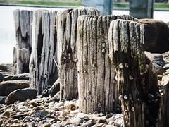 Periwinkle Posts (adamwendellpearson) Tags: posts periwinkle wood