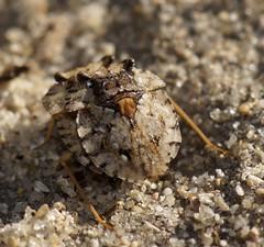 Toad Bugs (Beth_Kin) Tags: perth mating wa trigg gelastocoridae toadbug sandsunes