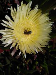 Na Ursa (LuPan59) Tags: insectos fauna flora insects ursa lupan59