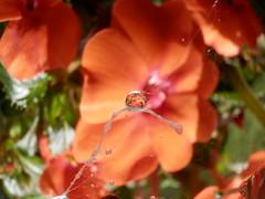 Gocce su ragnatela (annamariagiacomini) Tags: macro campanula riflessi gocce ragnatela