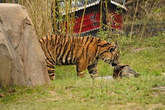 Islands at Chester Zoo (126) (rs1979) Tags: zoo islands tiger chester sumatrantiger chesterzoo