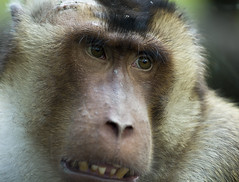 "I`m sorry (Vidar ""the Viking"" Ringstad, Norway) Tags: berlin nature look animal closeup germany nose deutschland zoo monkey see spring warm teeth ears ape tierpark tyskland canoneos5dmkiii"