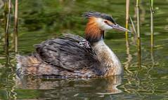 Grebes! (jefflack Wildlife&Nature) Tags: nature birds countryside wildlife ngc lakes wetlands avian grebe waterbirds waterways greatcrestedgrebe wildbirds grebes
