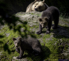 Bear Cubs exploring the World under the mother's eyes (www.danbos.it) Tags: bears baby cubs wildlife