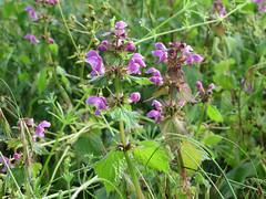 ckuchem-1384 (christine_kuchem) Tags: lamium maculatum taubnessel feldblumen ackerblumen gefleckte