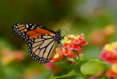 Monarch Butterfly~Explored! (j man ) Tags: life lighting flowers friends light flower macro art nature floral colors beautiful closeup butterfly lens photography orlando focus colorful flickr dof florida bokeh background details favorites depthoffield views monarch happybirthday 60mm lantana tamron comments selective jman harrypleubotanicalgardens sonya300 mygearandme flickrbronzetrophygroup