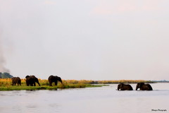 Have to cross quickly! (Mangini Adalberto & Laura - sorry busy - few time) Tags: africa animals wildlife safari elephants botswana chobe choberiver anawesomeshot pachiderms
