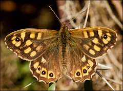 Speckled Wood (Grasping-air) Tags: wood speckled