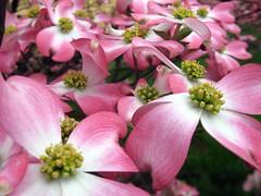 Pink Flowering Dogwood (elycefeliz) Tags: pink flowers ohio tree spring cincinnati blossoms flowering dogwood