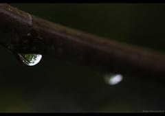 A tree in a drop (Cjasar) Tags: rain europe drop pioggia figtree plumtree friuli goccia fico gote fril ploe susino figr siespr
