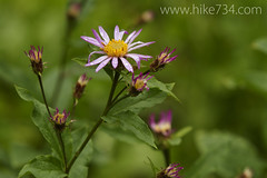 "Leafy Aster • <a style=""font-size:0.8em;"" href=""http://www.flickr.com/photos/63501323@N07/7411888116/"" target=""_blank"">View on Flickr</a>"