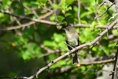 Eastern Phoebe (SPierceUrbex) Tags: tree bird ma branch feeding massachusetts beak feathers orchard perch perched bluebird quabbin belchertown resevior windsordam
