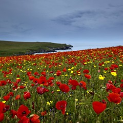 Poppies (Martin Mattocks (mjm383)) Tags: red yellow canon cornwall colours poppy poppies pentire poppyfield porthjoke leefilters canoneos5dmarkii cornwalllandscapes mjm383 martinmattocksphotography