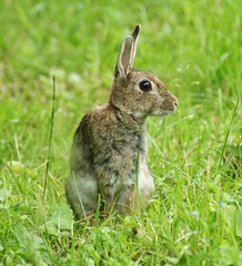 Rabbit (Paul (Barniegoog)) Tags: rabbit bunny nature field grass animals easter fur eyes sitting ears rabbits easterbunny