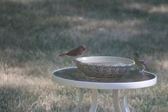Indigo Bunting (Pbiltgen) Tags: male cardinal 1st year baltimore juvenile oriole