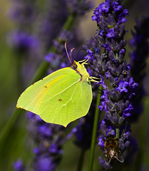 Like a leaf (Claudio Cantonetti) Tags: summer france flower colour macro green yellow butterfly insect suck leaf spring purple legs wind violet like bee eat disguise lavander pollen provence conceilment