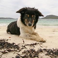 Salty Sea Dog (RoystonVasey) Tags: dog beach canon eos scotland zoom sigma explore outer hebrides vatersay 1770mm 400d