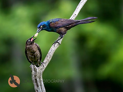 Common Grackle feeding young (scalderphotography) Tags: black bird wings feeding maine feathers iridescent juvenile commongrackle quiscalusquiscula blackbird icteridae birdphotography scalderphotography sandracalderbank