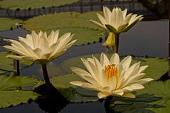 Tropical Water Lilies (Angela M. Miller (on a long, long break)) Tags: flowers summer flores water fleur waterlily lily blumen lilies lilypads fiori longwoodgardens a57 sonyalpha kennetsquarepa sonya57