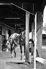 Hipismo (Thile Elissa) Tags: horse nature animal rural nikon interior natureza campo cavalo bicho hpica hipismo d3000 nikond3000 thileelissa hpicaterrasanta equitarian