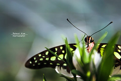 LIfe in green (Mahmud Alam) Tags: world life light abstract color colour art canon butterfly photography wings focus artist gallery foto planet getty shape bangladesh fotografi cmposition beautifiul platinumpeaceaward mygearandmepremium mygearandmesilver mygearandmegold mygearandmeplatinum mygearandmeplatinium artistoftheyearlevel3 artistoftheyearlevel5 artistoftheyearlevel7 artistoftheyearlevel6