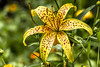 Yellow tiger lily (Valery Chernodedov) Tags: mimamorflowers me2youphotographylevel1