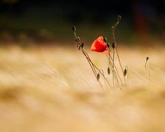 solo poppy (tangamansam) Tags: landscape walk peakdistrict poppy canon7d naturethroughthelens bestofblinkwinners blinksuperstars