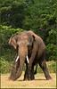 Triangle (Sara-D) Tags: nature animals forest asia wildlife sl lanka elephants srilanka ceylon lk aliya maximus tusk wildanimals southasia atha elephasmaximus tusker sarad serendib elephas elephasmaximusmaximus saranga wildelephants dealwis sarangadeva