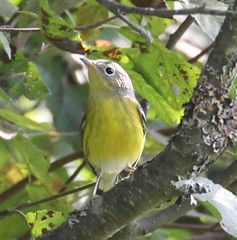 magnolia-warbler-IMG_2488-edit-4-web (mandovinnie) Tags: