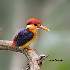 กะเต็นน้อยหลังดำ Black-backed Kingfisher (Oriental Dwarf Kingfisher)