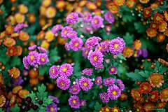 Chrysanthemum /  (Andy Qiang) Tags: leica autumn flower canon 50mm shanghai summicron 5d   chrysanthemum 2012      r502 gongqingforestpark