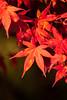 real red (peaceful-jp-scenery (busy)) Tags: autumn leaves leaf maple sony 日本 紅葉 lightroom amount 山中湖 山梨 yamanakako カエデ fuji5lakes α700 dslra700 sal70300g 山中湖村 sony70300g 紅葉まつり 旭ヶ丘 夕焼けの渚