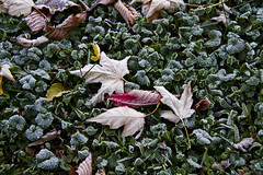 Frost (Matt Champlin) Tags: autumn winter cold color fall nature leaves canon dead death frost seasons frosty fallen upstatenewyork change dying 2012 frostyleaves frostylawn